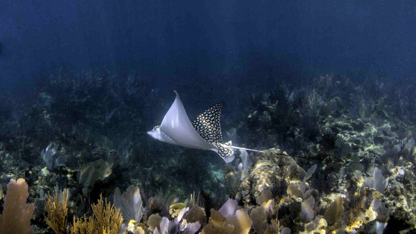 spotted ray by Coldwell Banker Schmitt