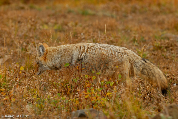 coyote hunting- by RandyMGarrett