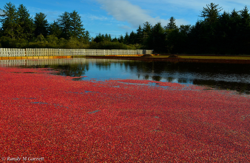 Cranberry Harvest; Grayland, WA