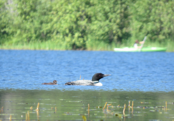 Loon with baby by BeaHarrison