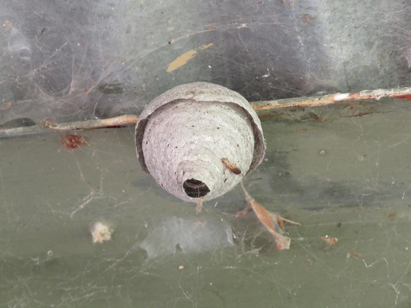 IMG_0789Bald faced hornet nest beginning