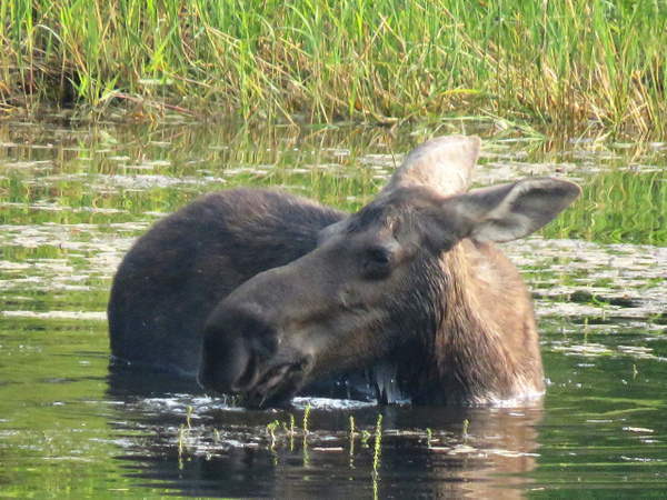 IMG_0871 moose by BeaHarrison