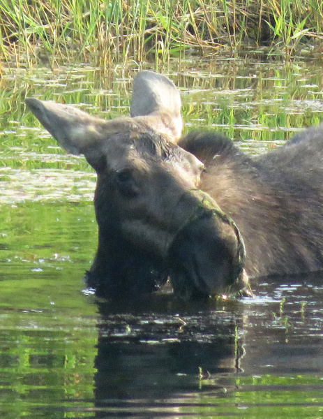 IMG_0885moose by BeaHarrison