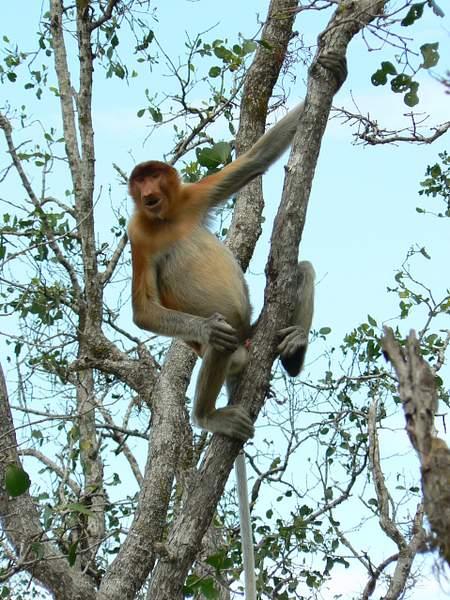 Female_Proboscis_hanging_out_803