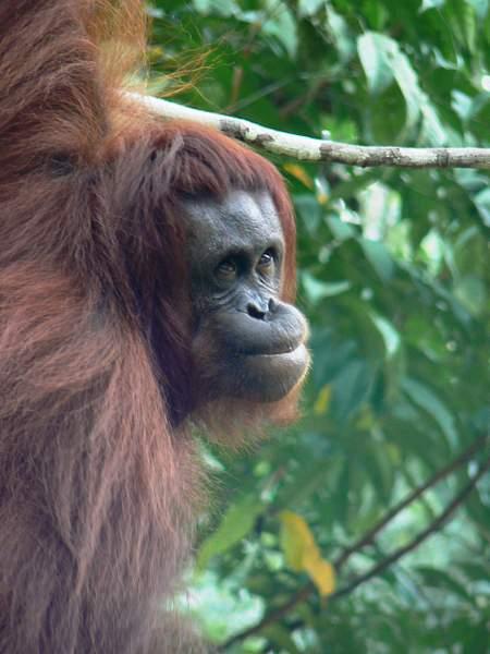 Orangutan_929_AC