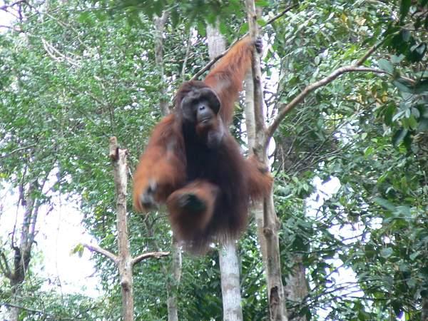 Orangutan_Big_Daddy_coming_at_ya_014