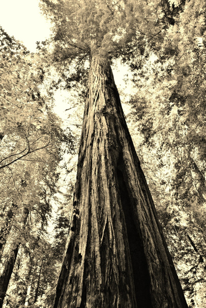 redwood by Angelika