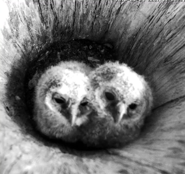 Another Owl Cam