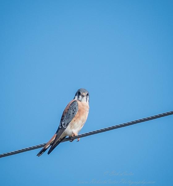 American Kestrel Falcon by BobLester