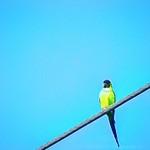 Nanday Parakeet  (Nandayus nenday)