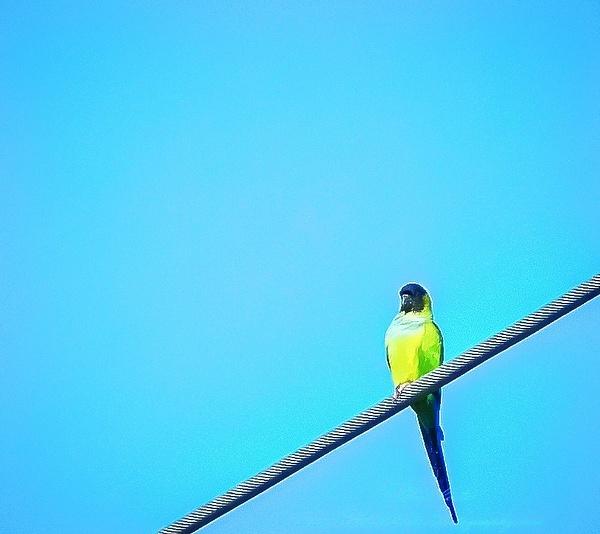 Nanday Parakeet  (Nandayus nenday) by BobLester
