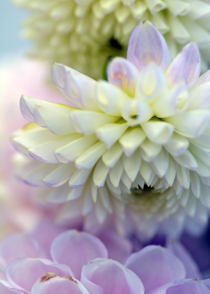 White & purple dahlias
