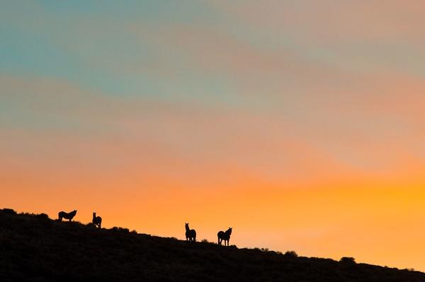 Wild Horses at Sunset - Nevada