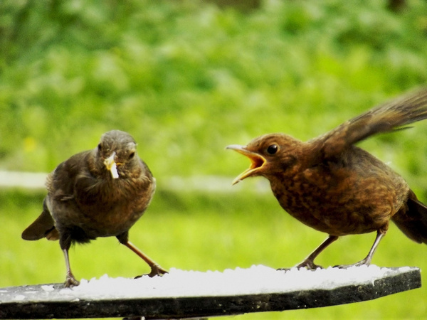Blackbird and fledgelings by ChristineGeddes