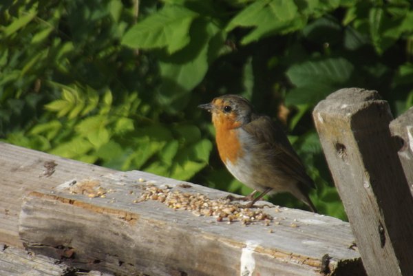 Robin Fledge, Robin, Sparrows by ChristineGeddes by...