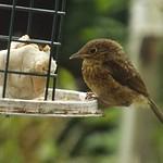Robin Fledge, Robin, Sparrows