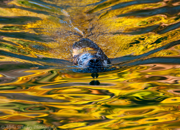 Autumn Seal by Alpha Whiskey Photography