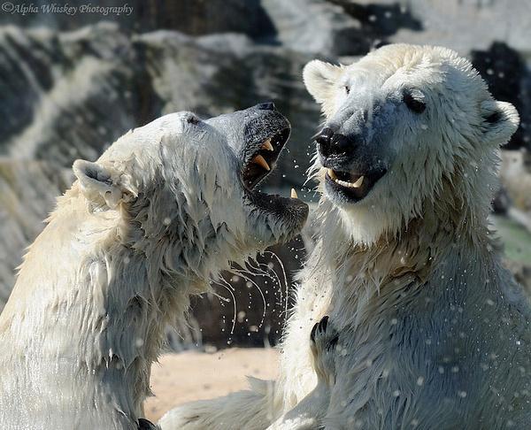 Polar Bears by Alpha Whiskey Photography