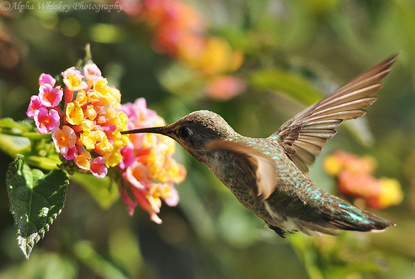 Hummingbirds by Alpha Whiskey Photography by Alpha...