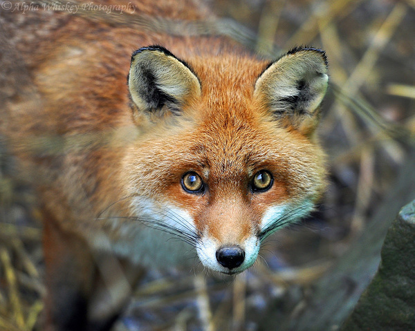 Out-Foxed by Alpha Whiskey Photography