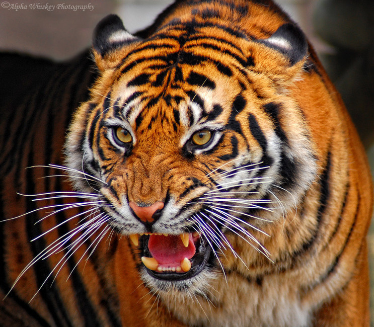 Save The Tigers!