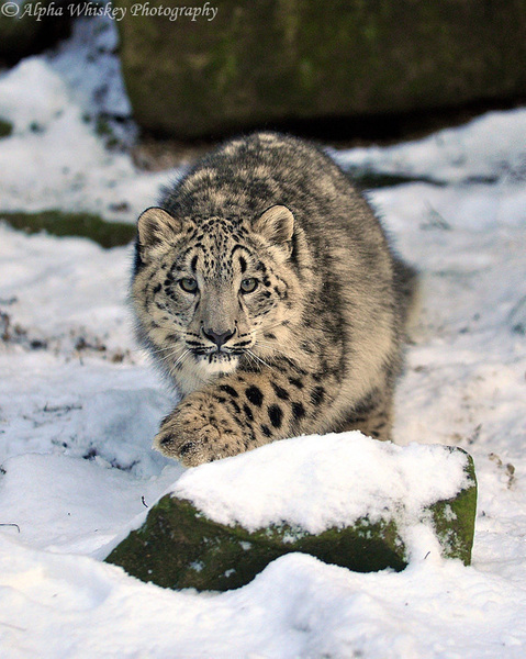 snow leopard cub by Alpha Whiskey Photography
