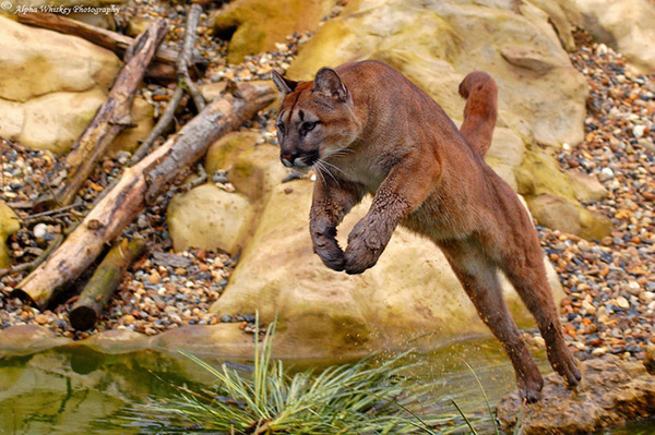puma by Alpha Whiskey Photography