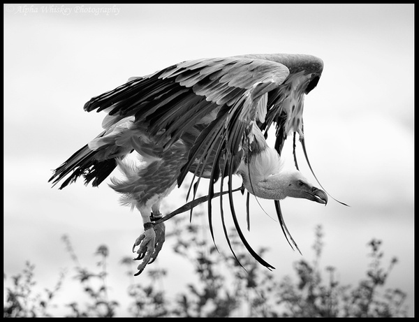 Vulture by Alpha Whiskey Photography