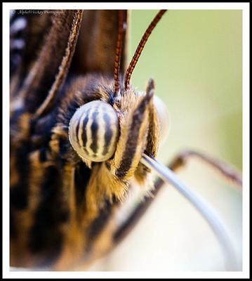 Butterflies Close-Up