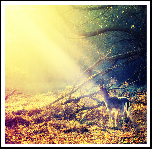 Afternoon Deer by Alpha Whiskey Photography
