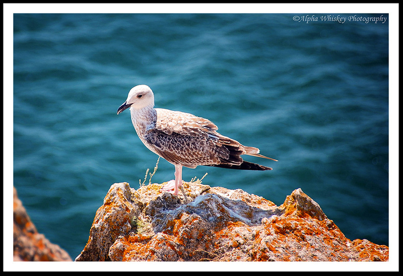 6 Portugal Seagull