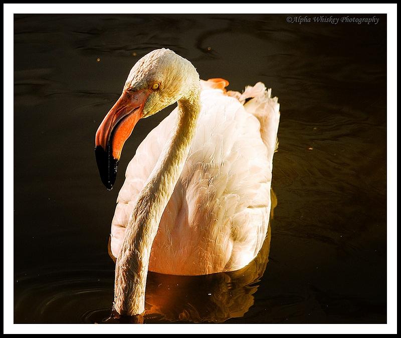 8 Flamingo
