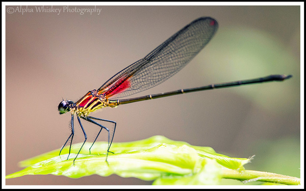 Damselflies La Fortuna by Alpha Whiskey Photography