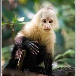 Mangrove Capuchins