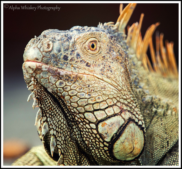 Iguanas by Alpha Whiskey Photography