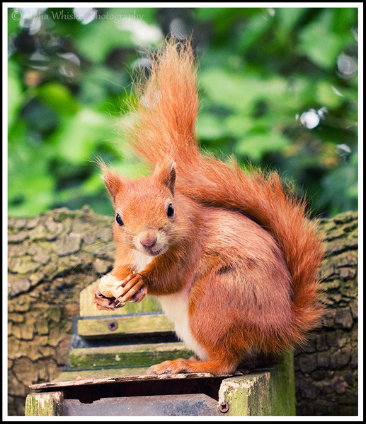 Red Squirrels by Alpha Whiskey Photography