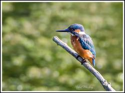 Kingfishers and Dragonflies