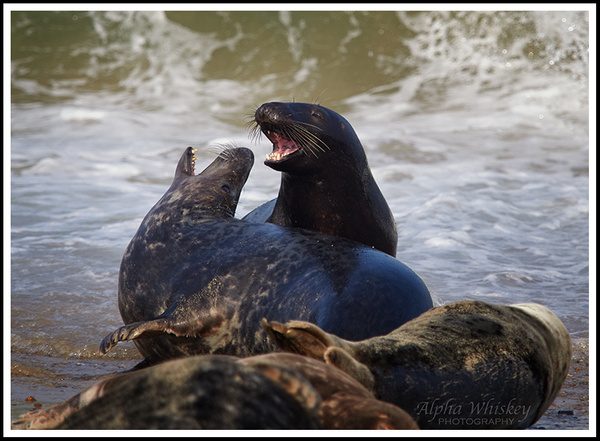 Playful Seals by Alpha Whiskey Photography