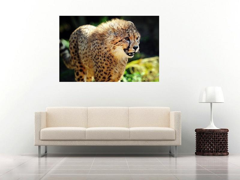 24 cheetah