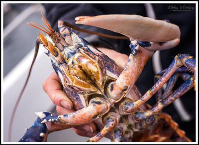 Lobster Safari