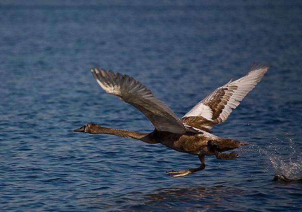 Swans by sdolya by sdolya