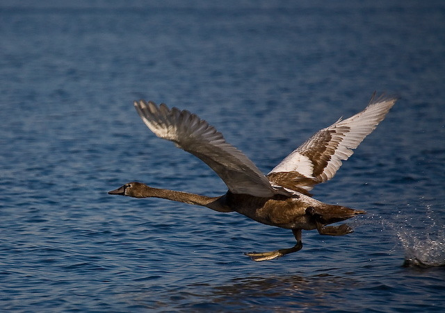 swans-9