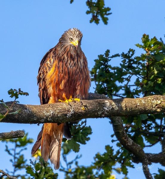 Red Tail Kite -2 - Wildlife - Garth Fuchs Photography
