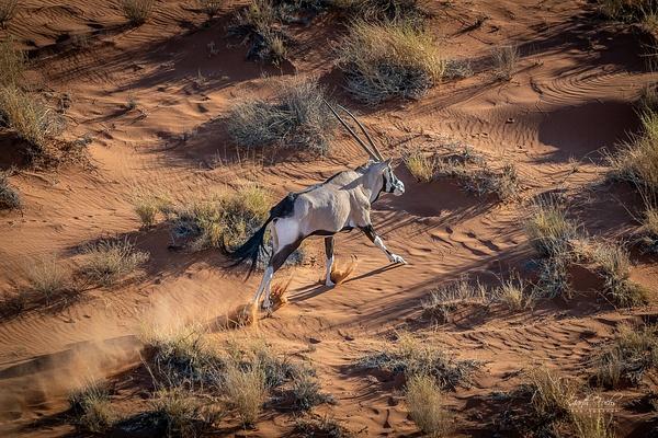 gemsbuck running in Namibian Desert - Wildlife - Garth Fuchs Photography