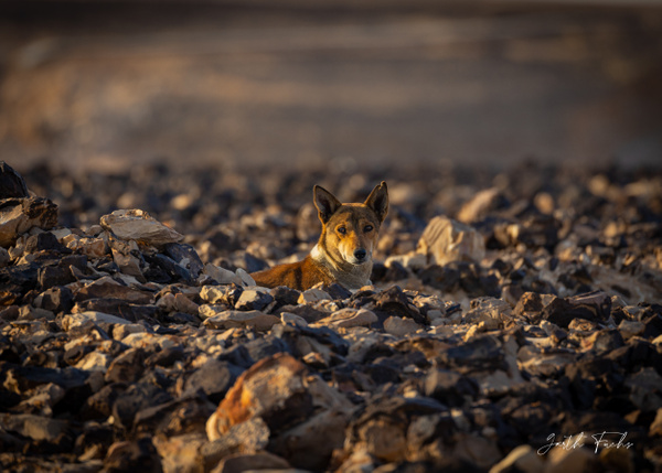 wild yemeni desert dog - Special: Namibia - Garth Fuchs Photography