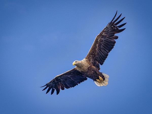 Sea eagle in Isle of Skye-2-2 - Wildlife - Garth Fuchs Photography