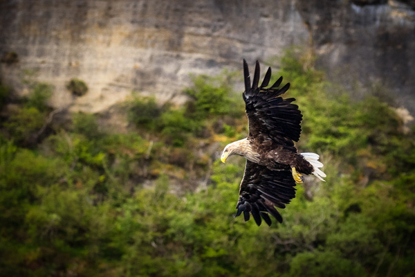 Sea eagle in Isle of Skye-3 - Wildlife - Garth Fuchs Photography