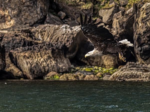 Sea eagle in Isle of Skye-2 - Wildlife - Garth Fuchs Photography