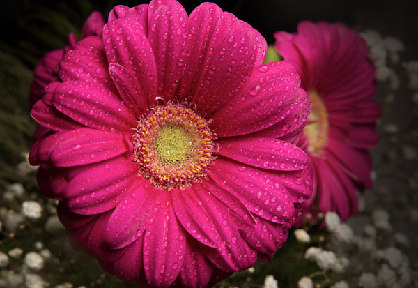 Gerbera-Pink-Flowers - High Quality Product Photography by Luminous Light Photography Toronto