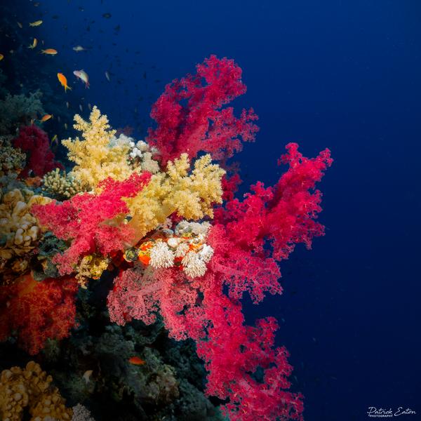 Sharm el-Sheikh - Coral 001 - Underwater - Patrick Eaton Photography